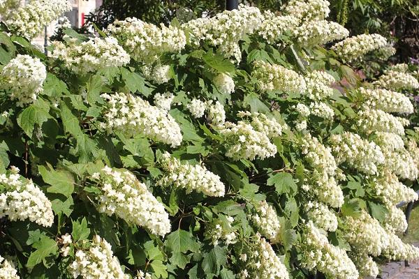 たくさん咲いてるカシワバアジサイの花の写真