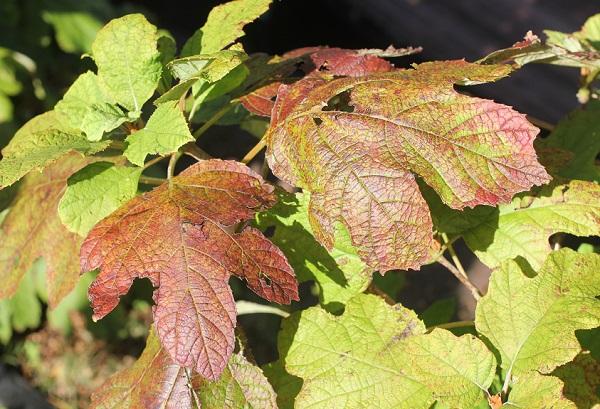 9月のカシワバアジサイの葉の様子の写真(紅葉してる葉)