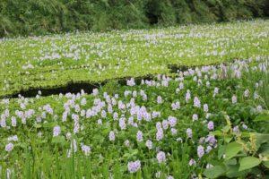 トンボ公園、ホテイアオイの群生の写真