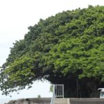 海辺に生える大きなアコウの木の写真
