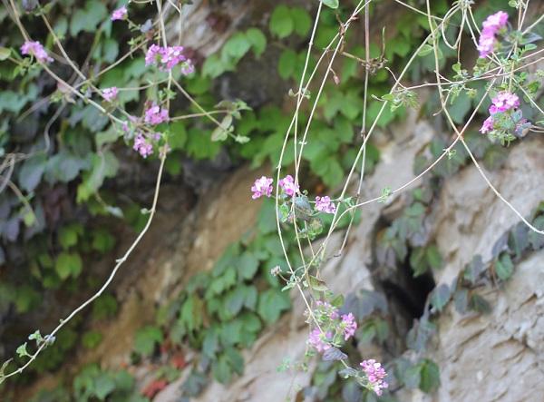 コバナランタナ花とツル