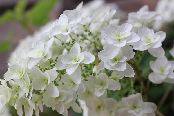 カシワバアジサイの花の写真(スノーフレーク)