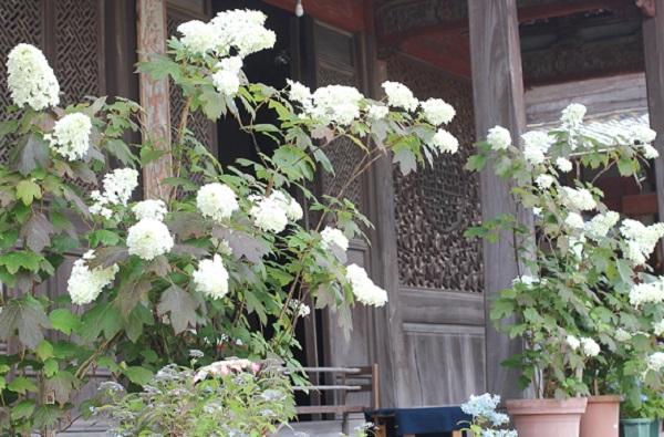 東明山興福寺で見かけた鉢植えのカシワバアジサイの花の写真