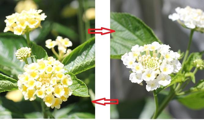 ランタナの色の移り変わりの様子の写真(黄色⇔白)