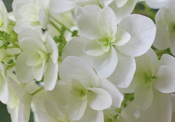 カシワバアジサイの花のアップ写真