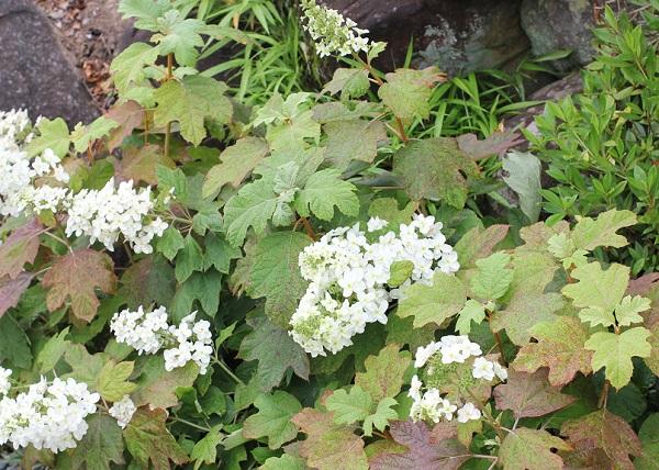 葉が紅葉しているカシワバアジサイの花の写真