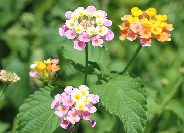 ピンク・クリーム色・黄色・オレンジの花を咲かせるミックスのランタナの花