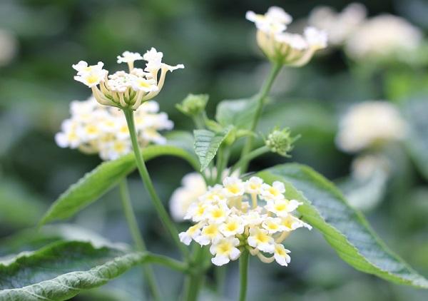 庭に咲いてるランタナの写真