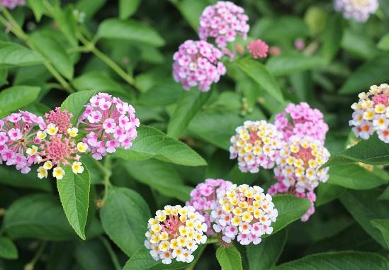 ピンク一色とピンク×黄色の花を咲かせるランタナ