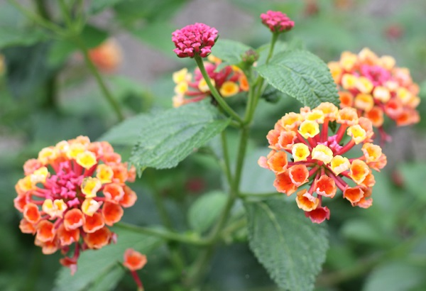 オレンジ×黄色のランタナの花。 蕾は濃いピンク