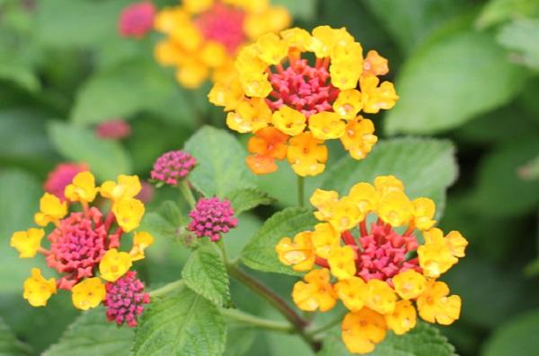 黄色×濃いピンクのランタナの花。