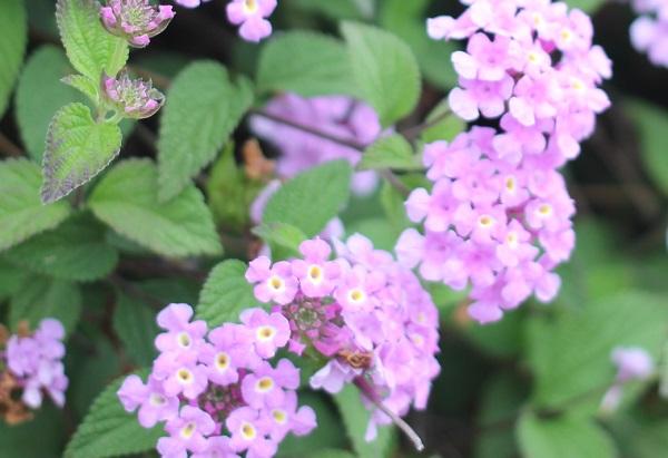 薄紫のランタナ。コバノランタナの花