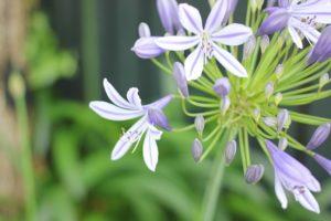アガパンサスの花の写真