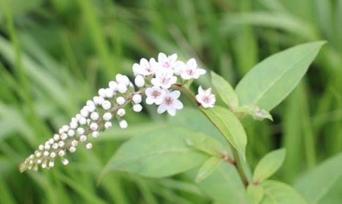 草原に咲くオカトラノオの写真