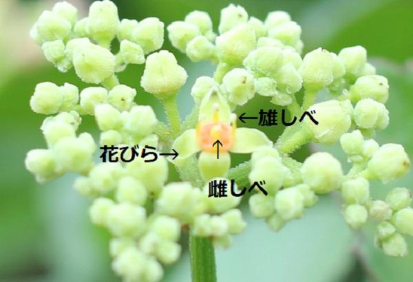ヤブガラシ(藪枯らし)の蕾と開花した花、(花びら、雄しべ、雌しべ)の写真