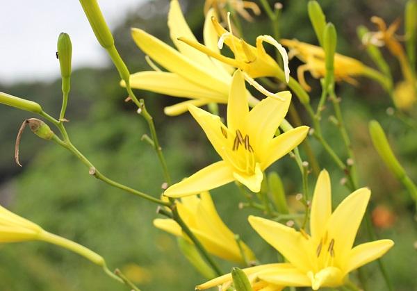 ユウスゲの花の写真