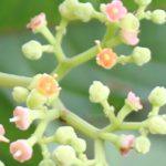 ヤブガラシの花の写真