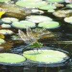 水辺に咲く黄色の花の写真
