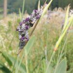 ミズカンナ(ウォーターカンナ)の花の写真