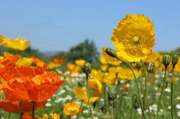 ポピーの花が咲いてる写真