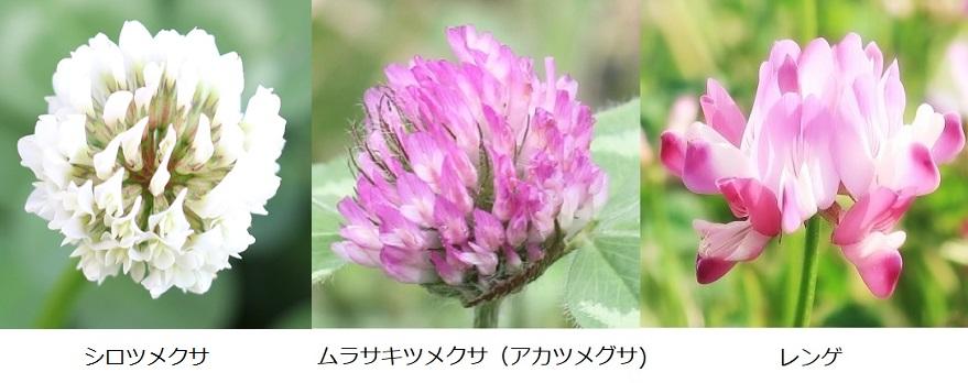 シロツメグサ・ムラサキツメグサ(アカツメグサ)・レンゲの比較写真