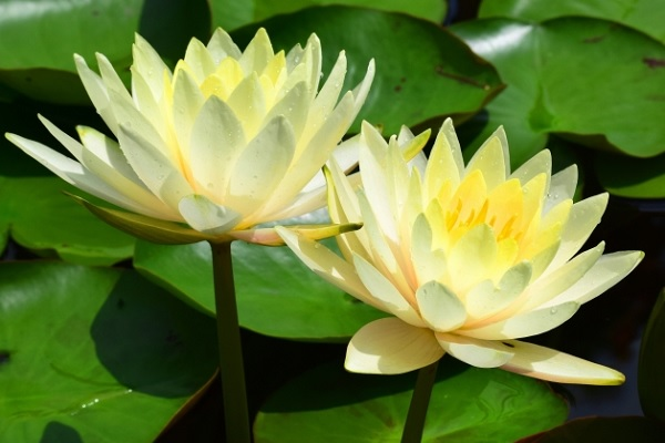 黄色の睡蓮の写真
