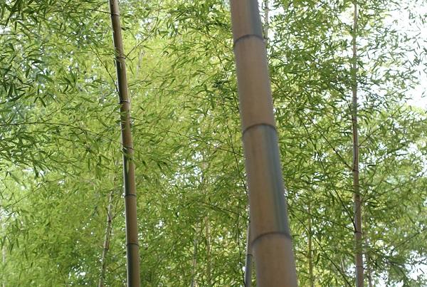 キンメイモウソウチク(金明孟宗竹)林の様子の写真