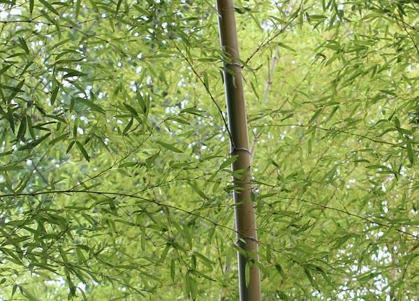 キンメイモウソウチク(金明孟宗竹)の稈と葉の写真