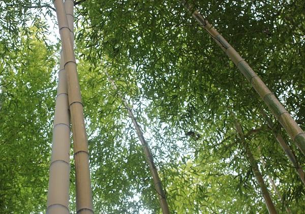 猛宗金明竹(モウソウキンメイチク)林の写真