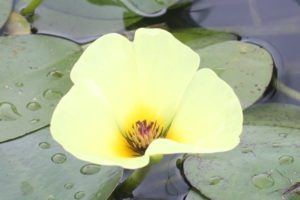 ウォーターポピーの花の写真