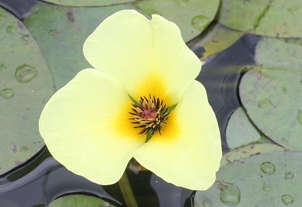 美しいウォーターポピーの花の写真