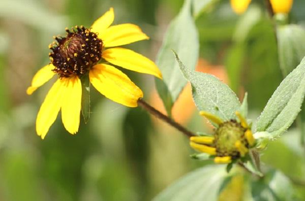 ルドベキア・タカオの花と蕾の写真