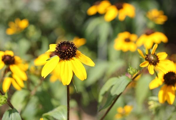庭で咲いてるルドベキア・タカオの写真