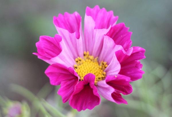 コスモス、シーシェルの花のアップ写真
