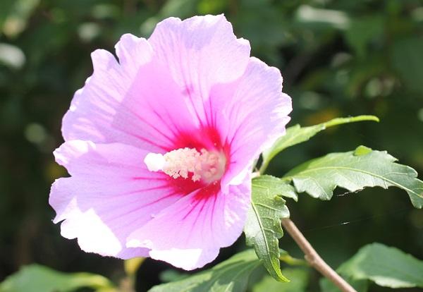 ピンクの木槿(ムクゲ)の写真