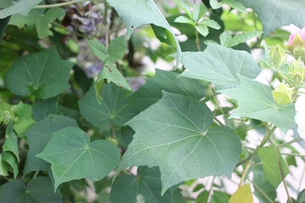 フヨウの葉の写真