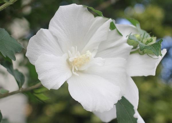白い木槿(ムクゲ)の花の写真