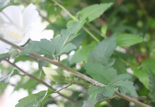 ムクゲの花と葉の写真