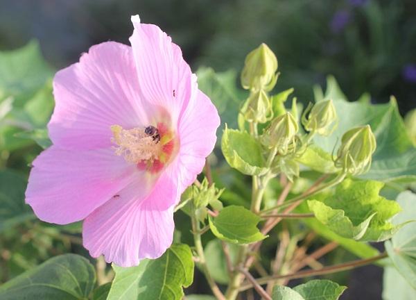 ピンクの芙蓉(フヨウ)の花の写真