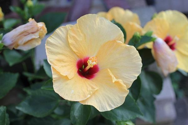 ハイビスカスの花や葉の様子の写真