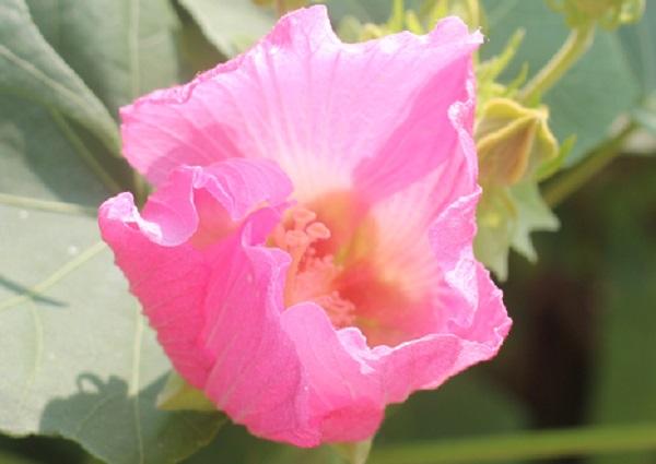 夕方の酔芙蓉(スイフヨウ)の花(濃いピンク)、アップ写真