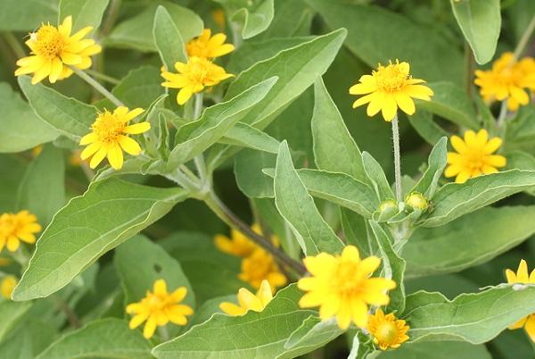 メランポディウムの花の写真
