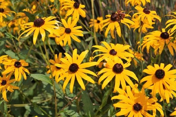 アラゲハンゴンソウ(荒毛反魂草)の花の写真