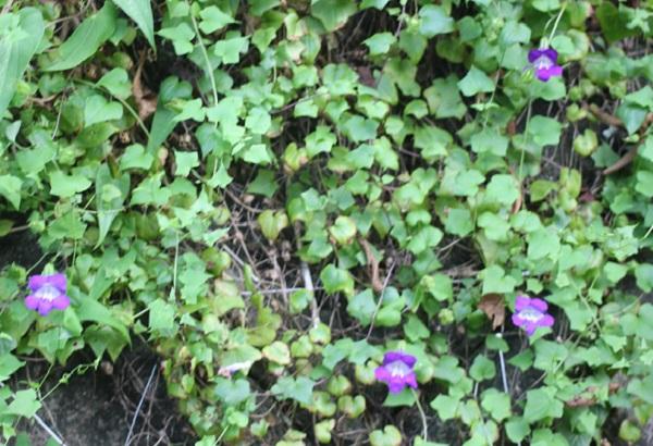 ツタバキリカズラ(アサリナ)が咲いている様子の写真