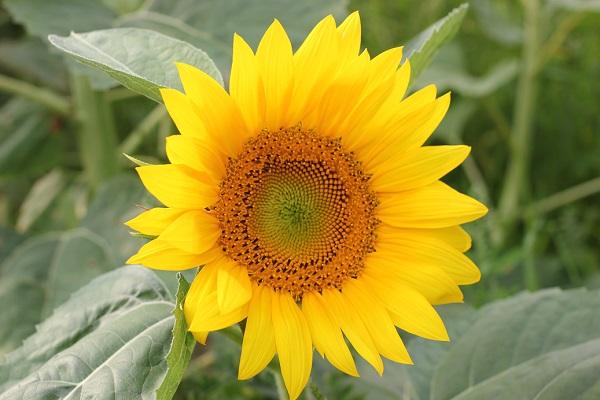 ヒマワリの花の写真