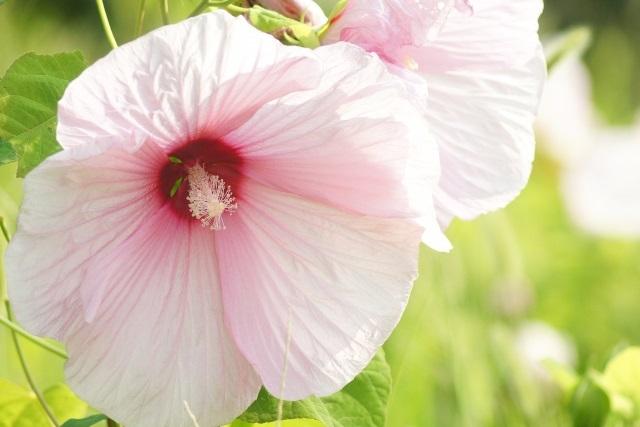 アメリカフヨウの花の写真