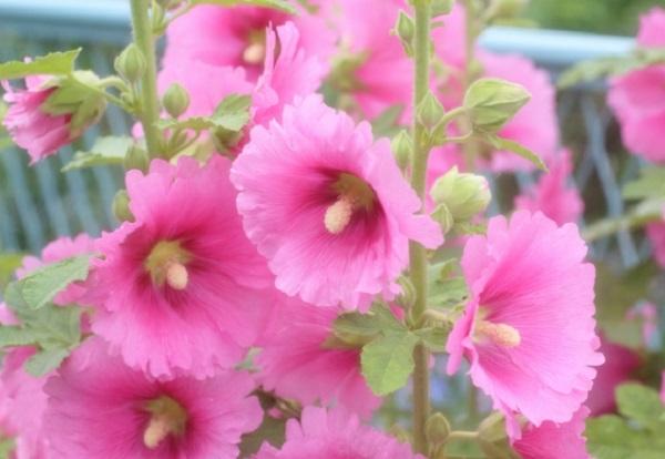 タチアオイ(ホリホック)の花の写真