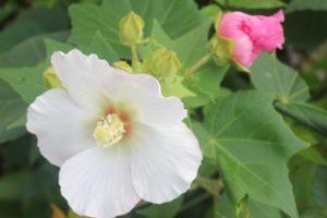酔芙蓉の花の写真
