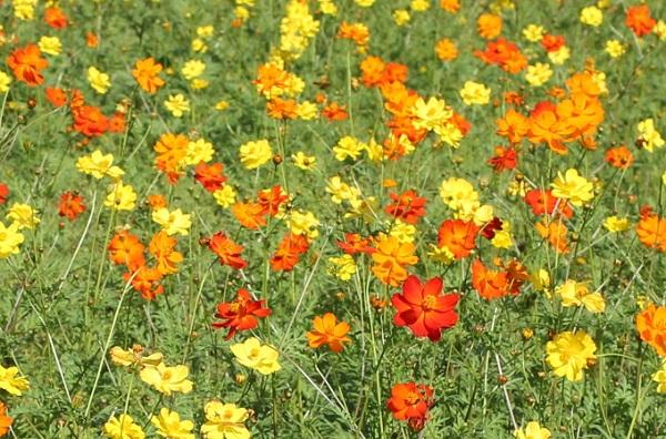 黄色とオレンジのキバナコスモス畑の写真
