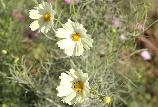 クリーム色のコスモス、イエローガーデンの花の写真